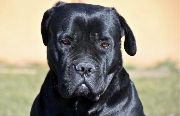 Кане Корсо - кучето на италианската мафия