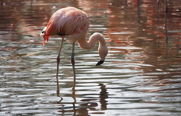 Плуване с фламинго в Аруба