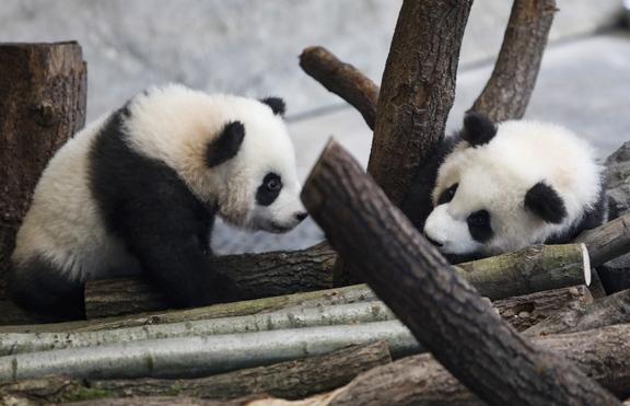 Германските панди близнаци дебютираха пред публика